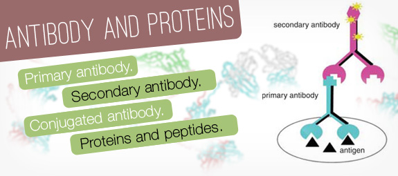Antibody And Proteins